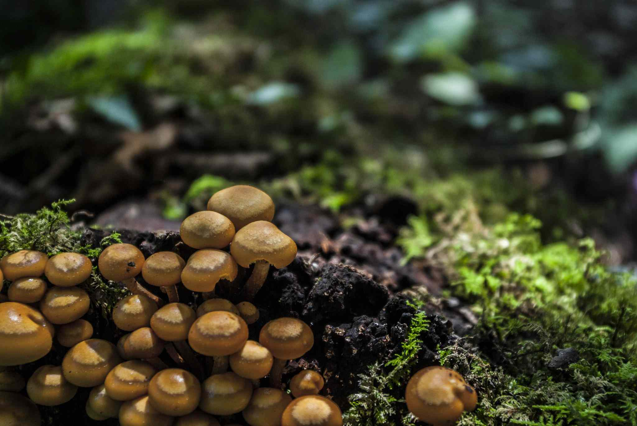 Cluster of Armillaria mellea growing on mossy forest floor