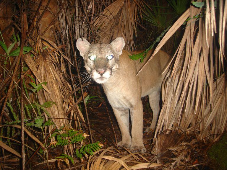 Florida panther at night