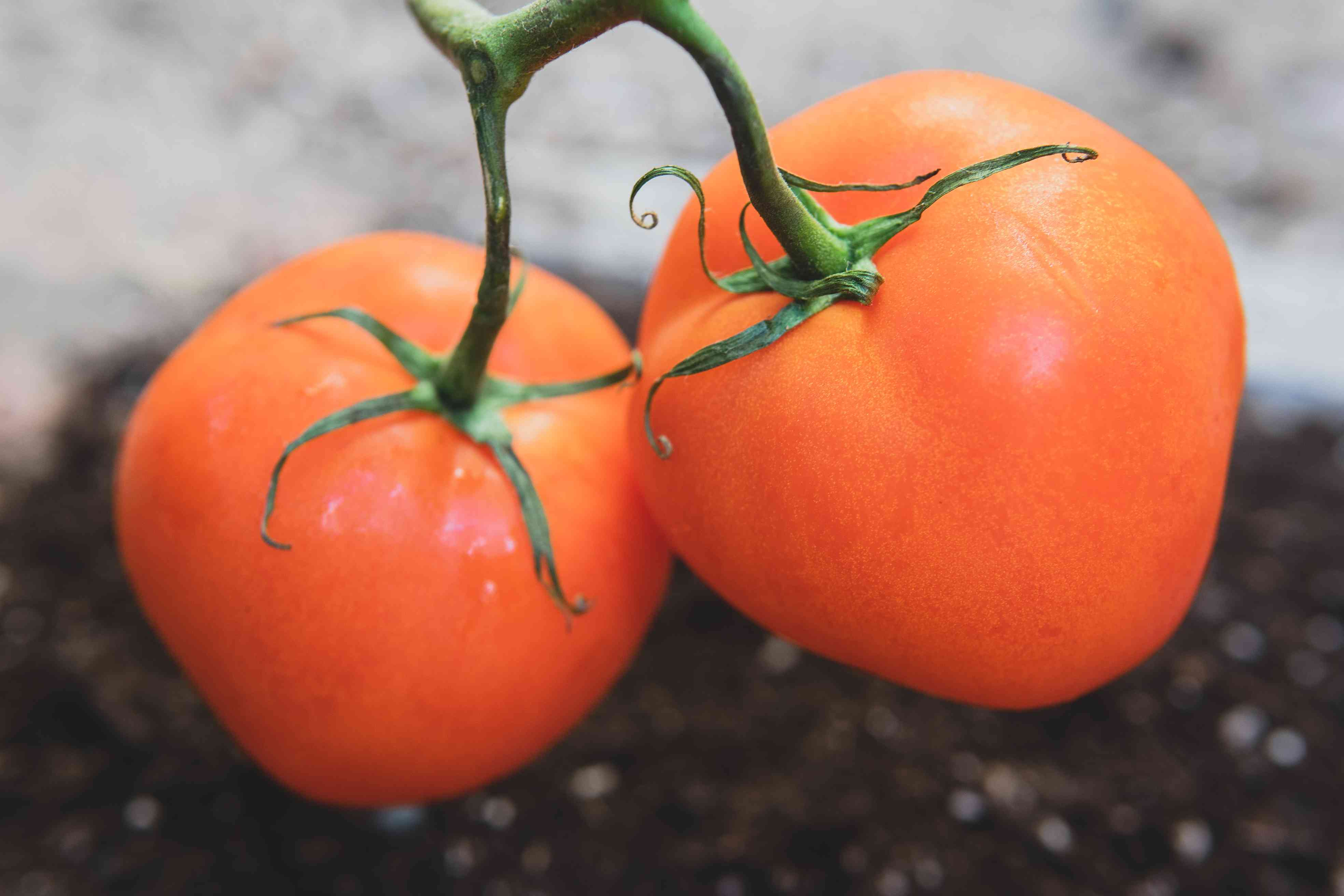 Two plump red tomatoes on a vine.