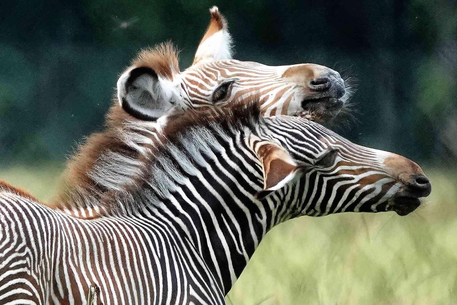 Grevy's zebra foals