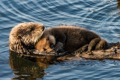 Sea otter floating in water with pup sleeping on its stomach