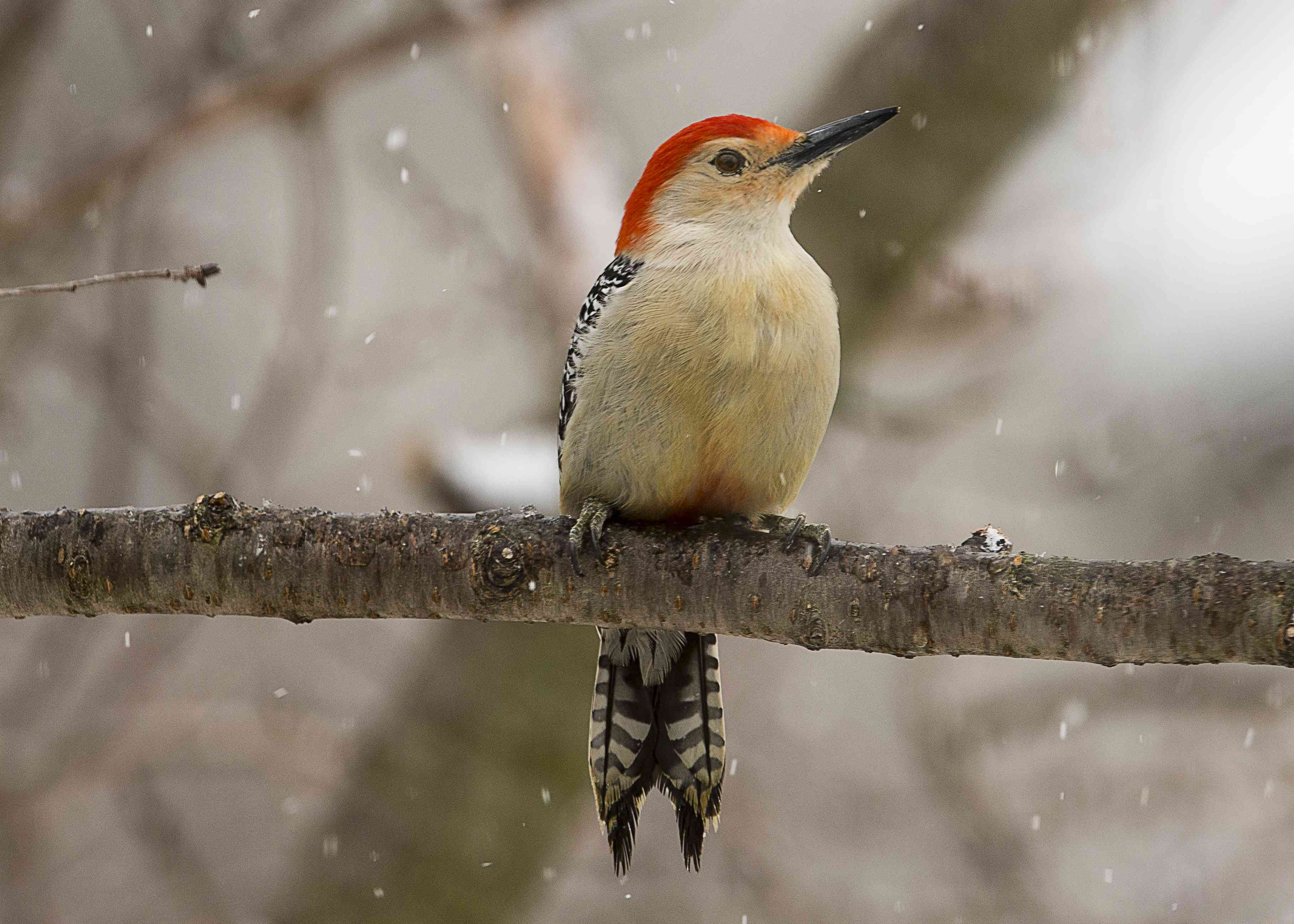 A red-bellied woodpecker resting on a branch.