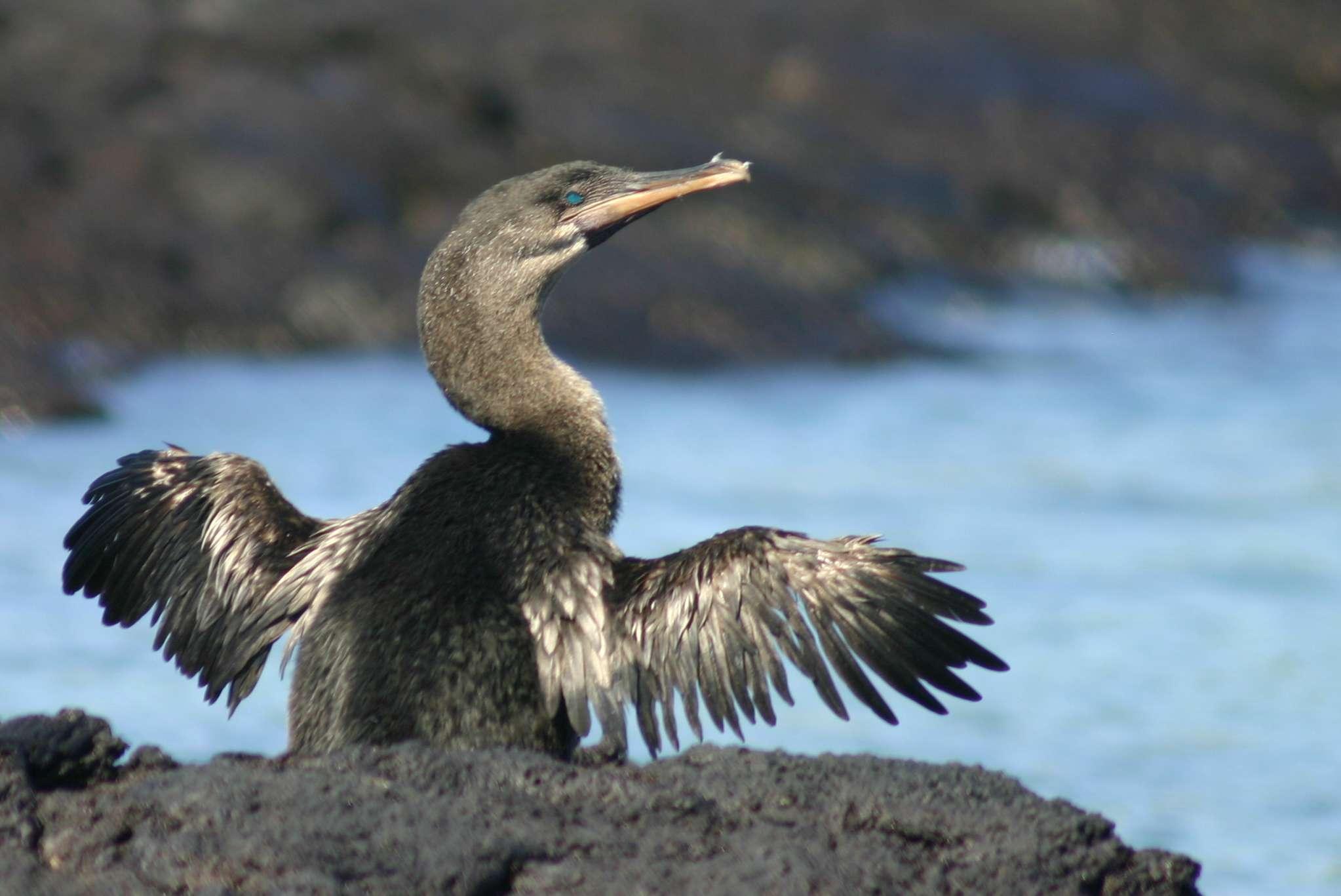 gray flightless cormorant spreads wings near water