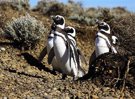 cute penguins photo