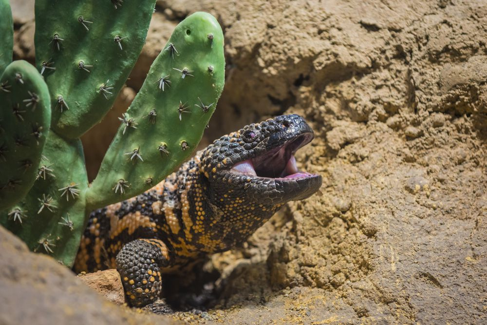 A gila monster with its mouth open peaking out from a hole in the sand next to a green cactus