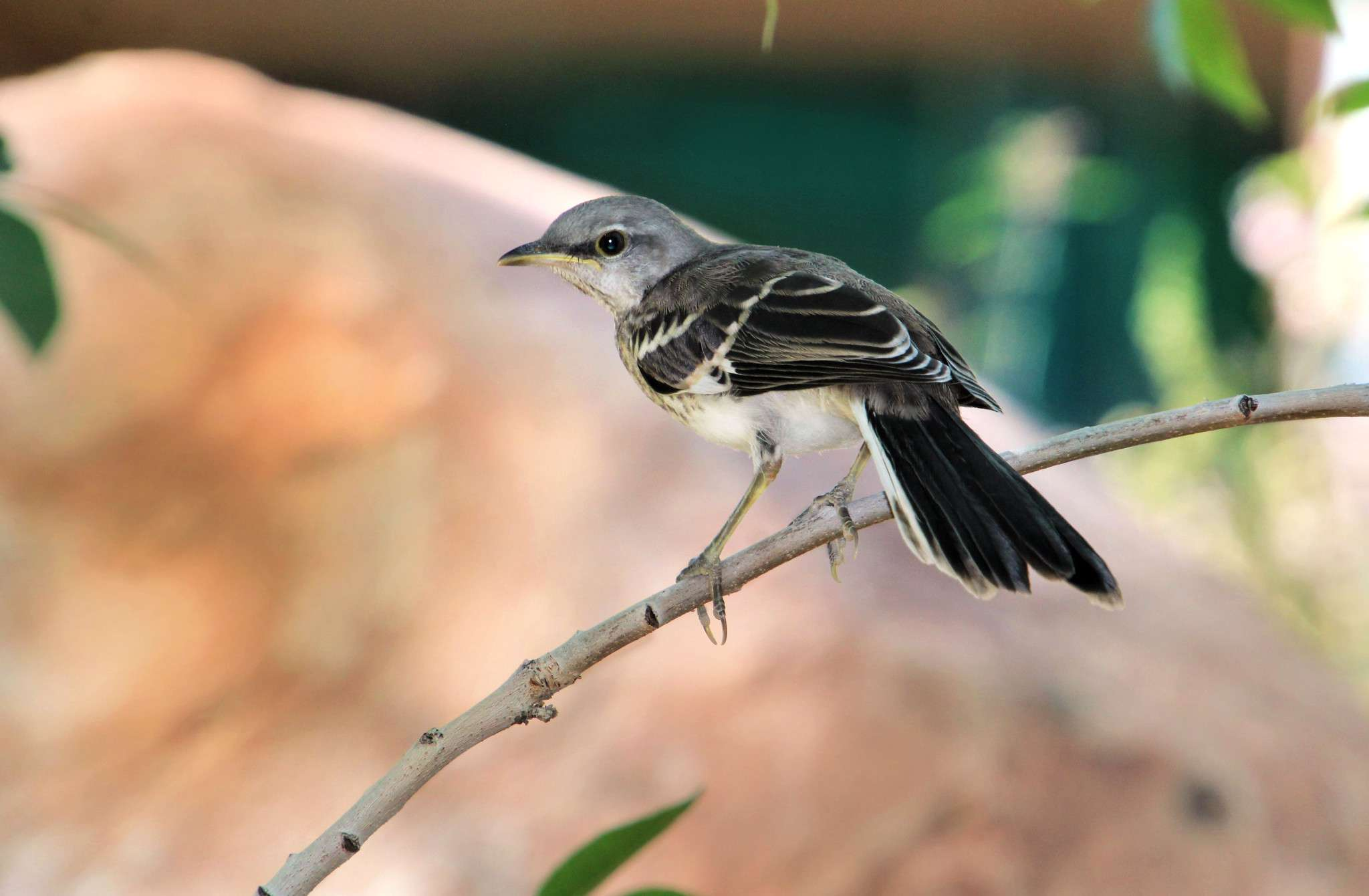 Northern mockingbird perched on a branch