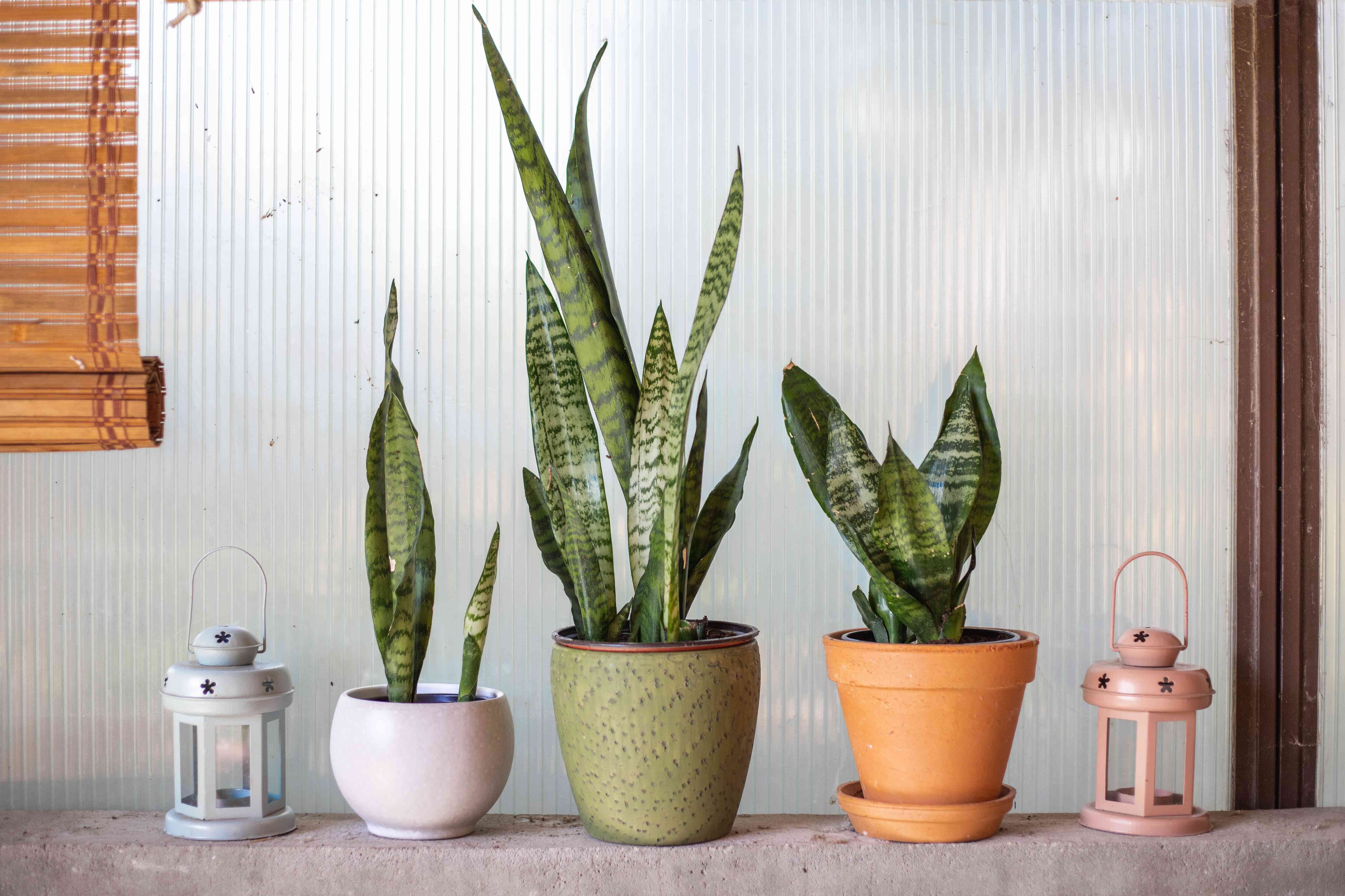 three snake plants in different pots sit on concrete ledge next to lanterns