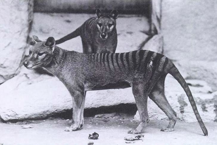 Two thylacines, an animal with an appearance like a dog except with tiger like stripes on part of back and long stiff tail