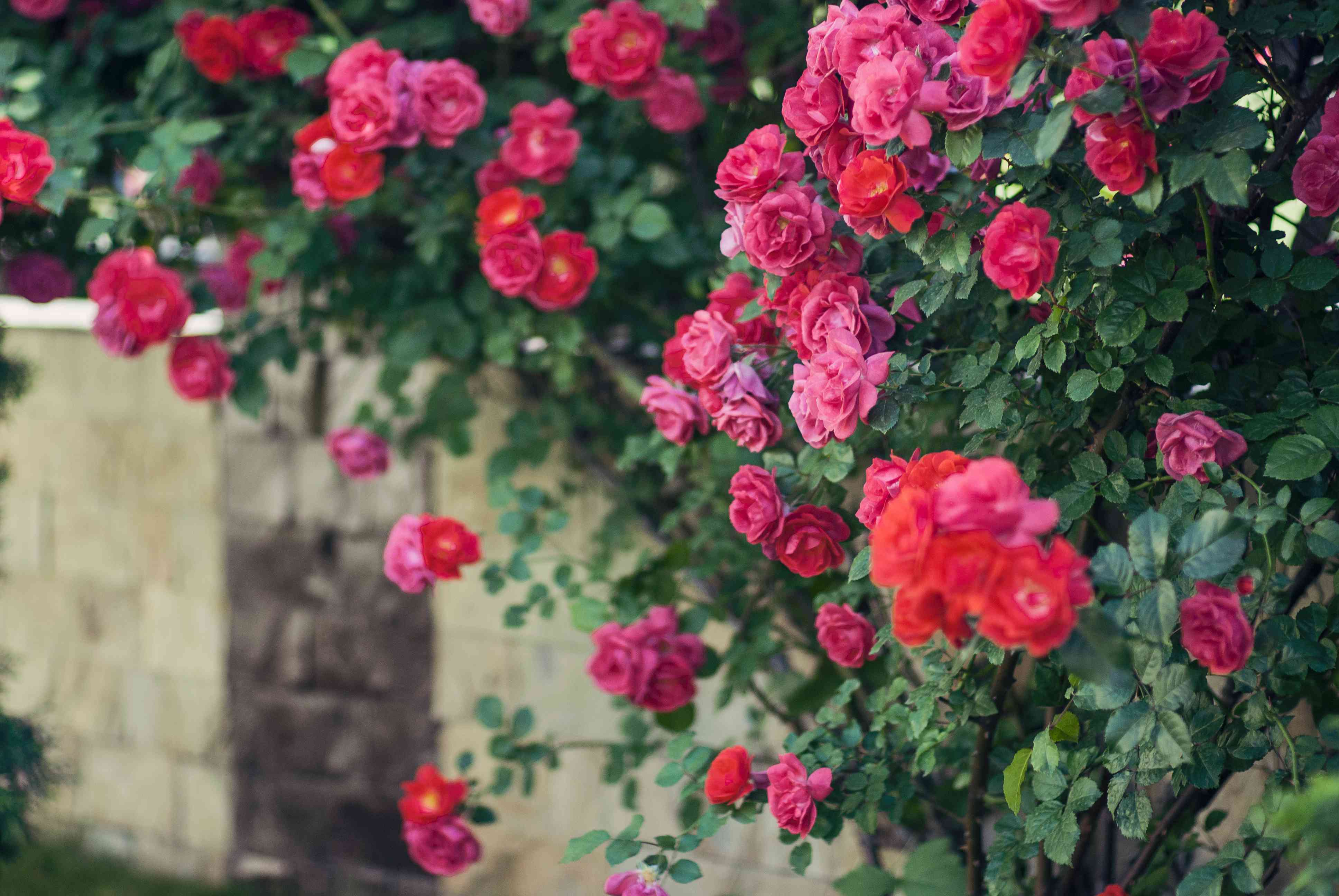 Red roses climbing on fence
