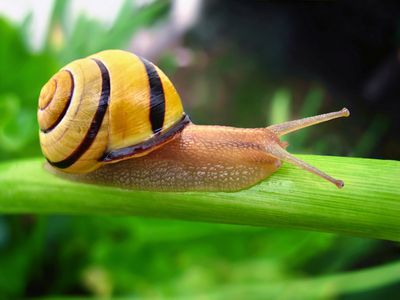 a brown lipped snail moving along a bright green leaf