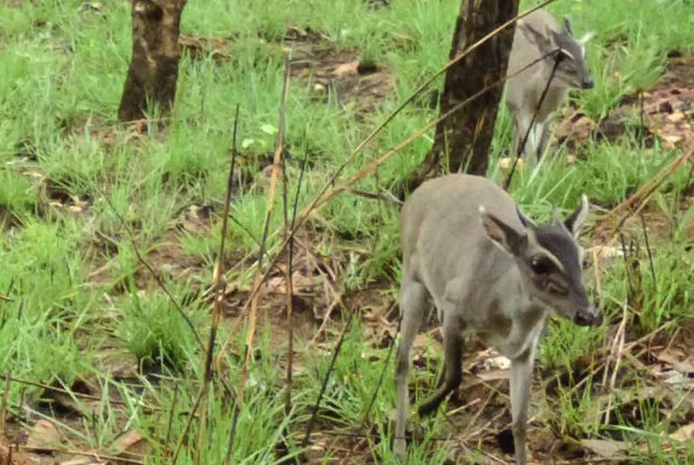 Photo of Extremely Elusive Antelope is a First