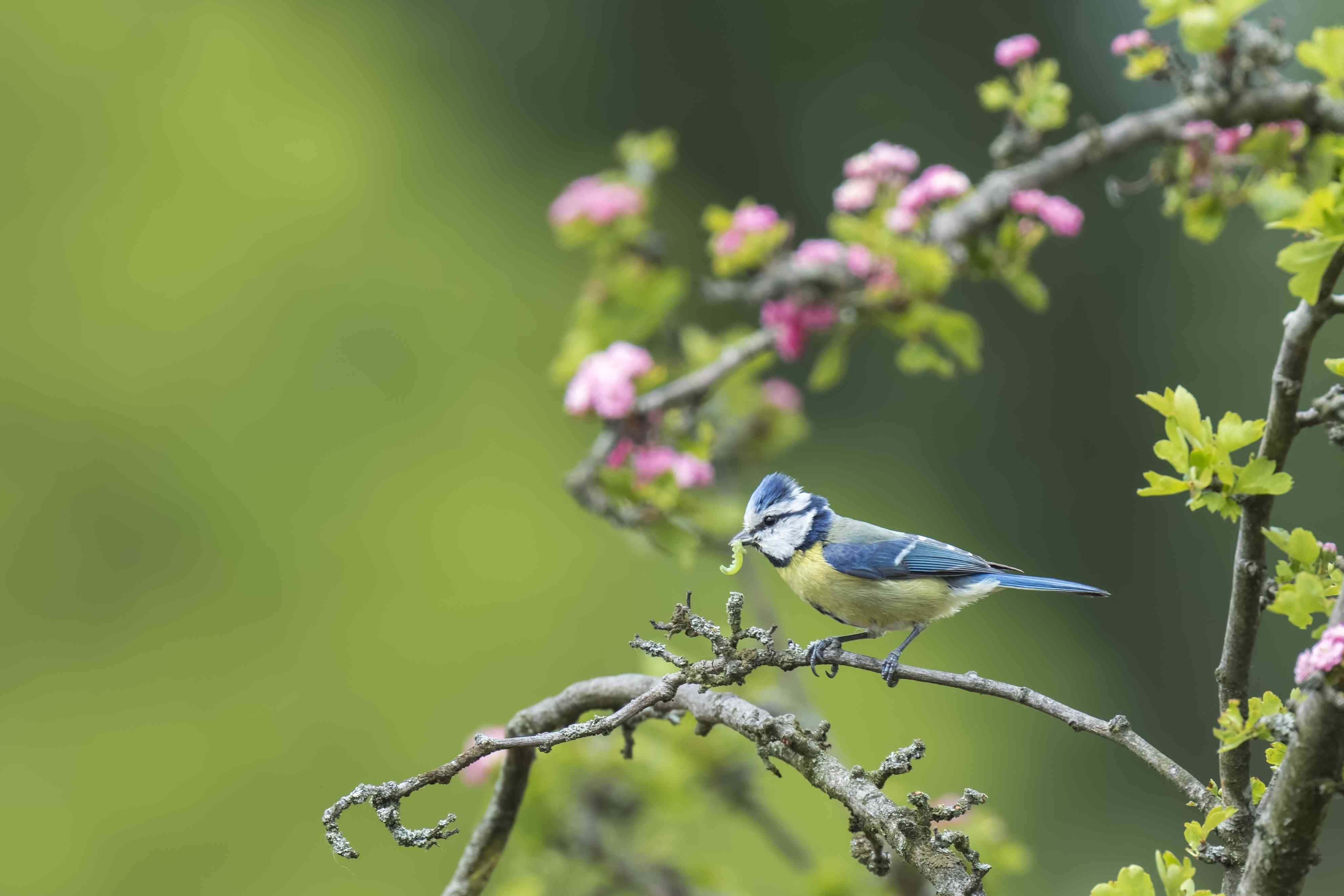 Eurasian blue tit with a caterpilar in a tree