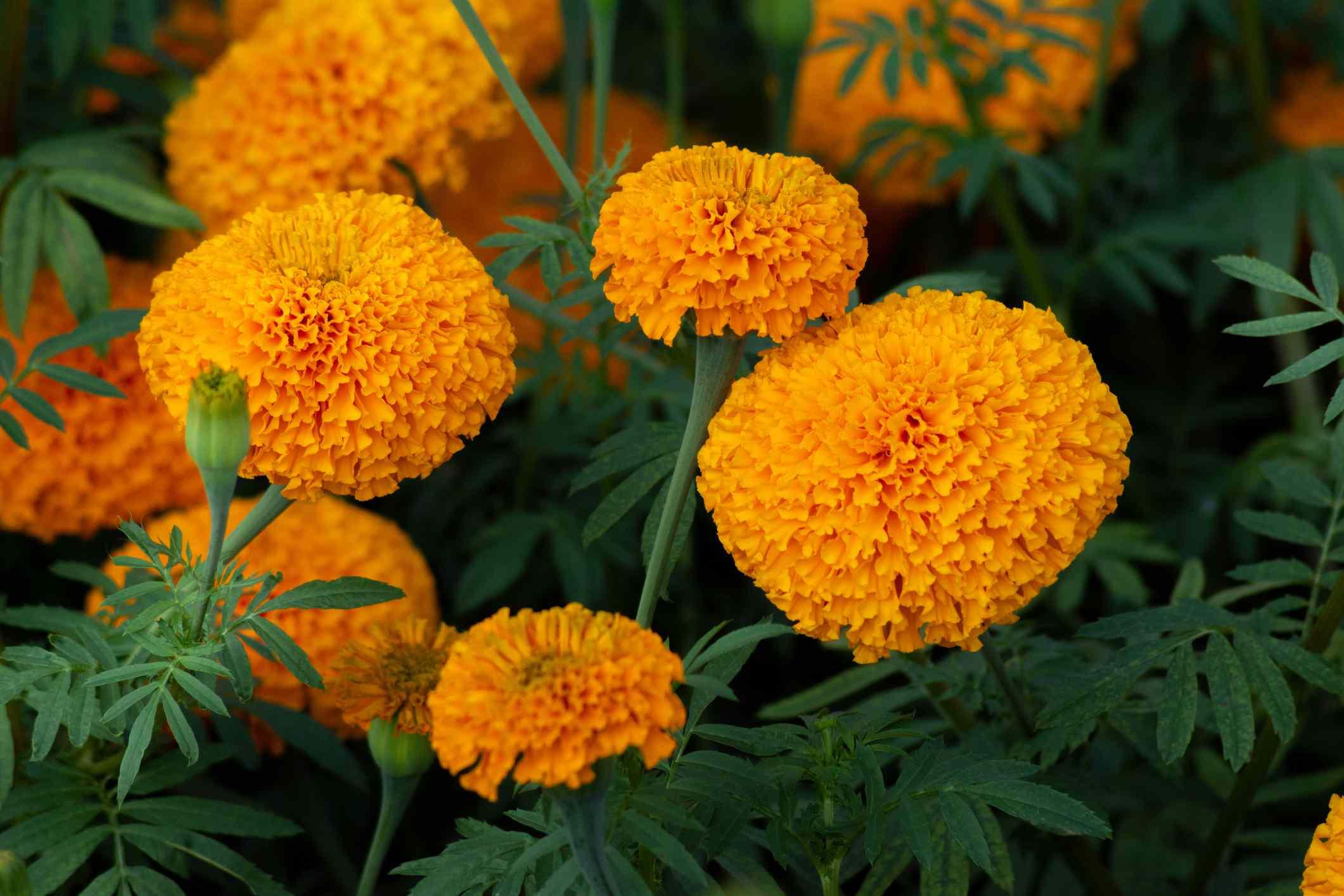 Pom-pomlike orange marigold blooms in a garden