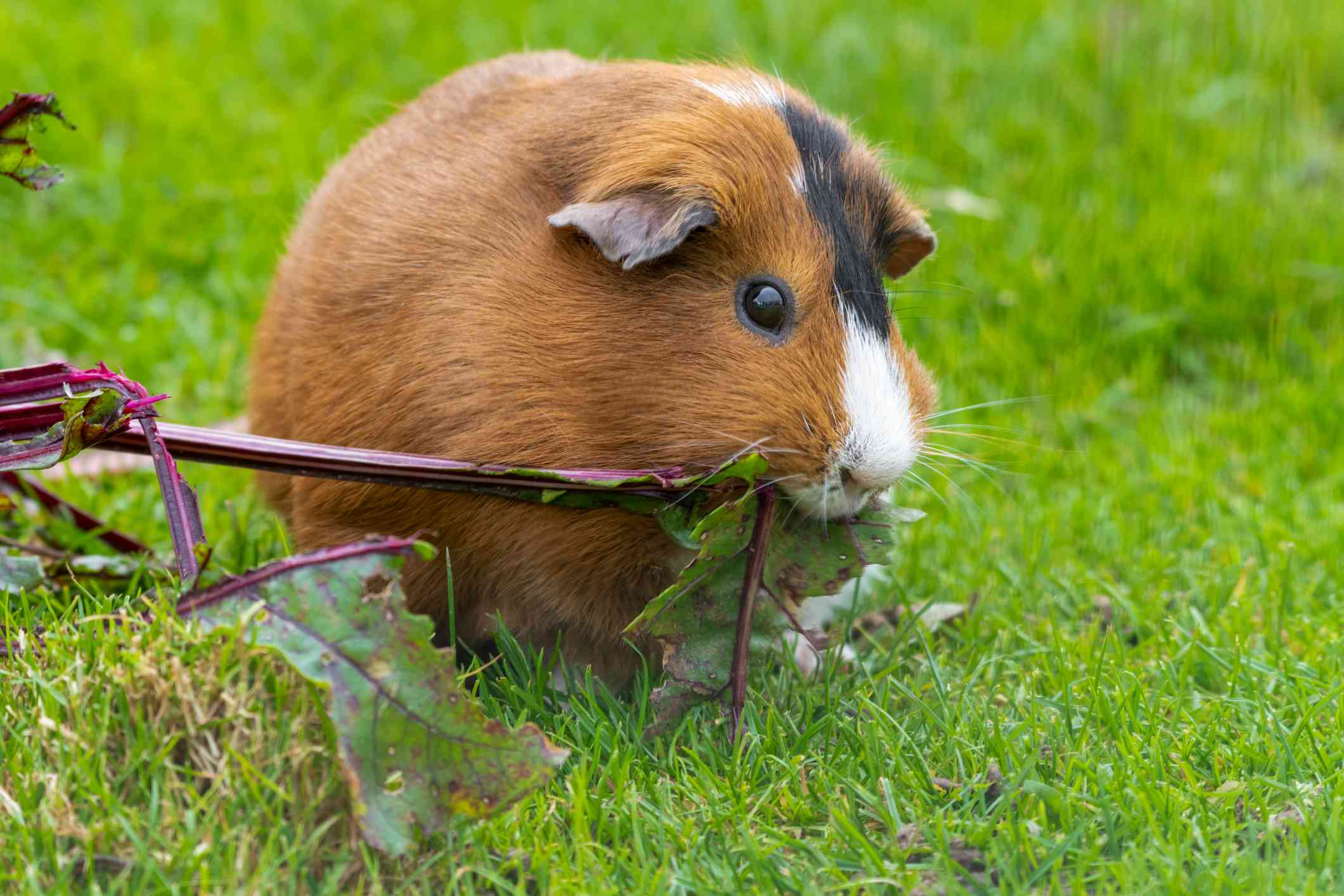 brown and white guinea pig eating beet root in the grass