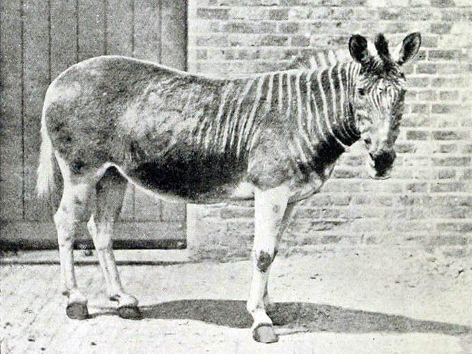 A quagga mare next to a brick wall in an enclosure at the London Zoo, circa 1870