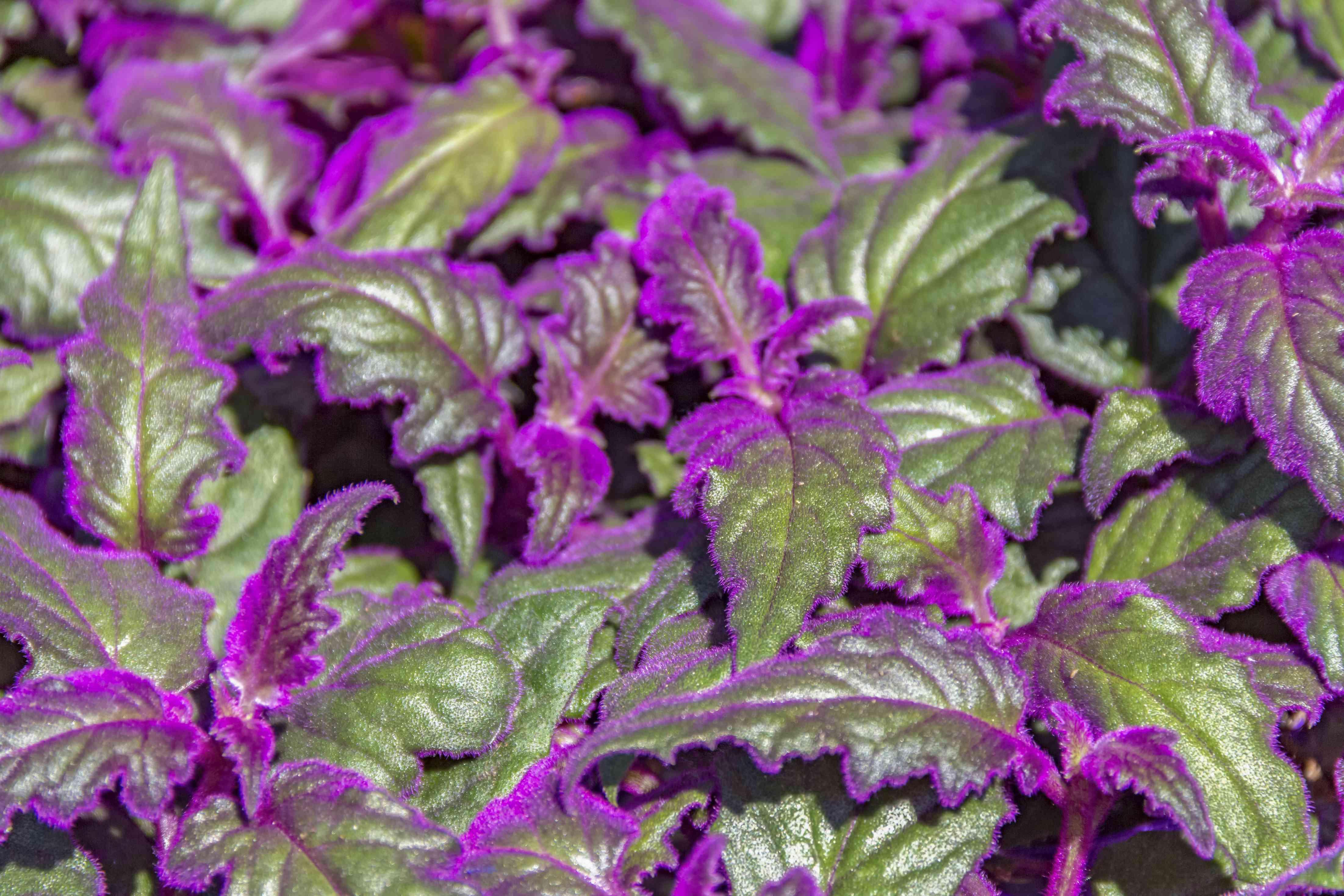 gynura plant detail