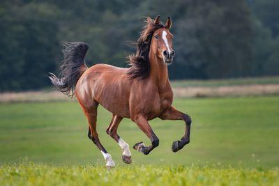 brown horse with black mane runs through field with wind blowing through hair