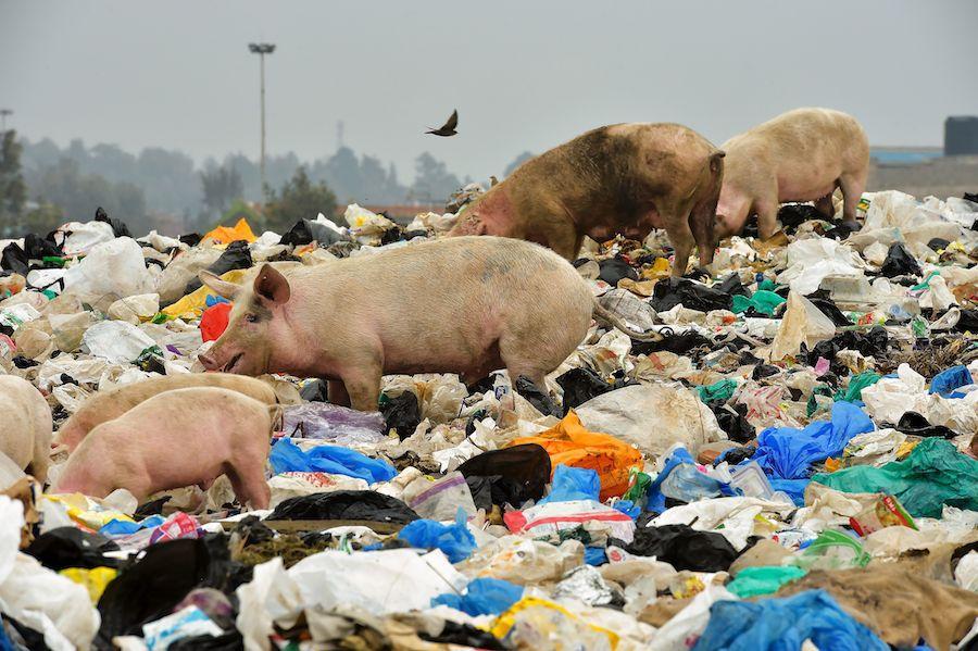 Pigs traversing a mountain of plastic bag waste outside of Nairobi, Kenya
