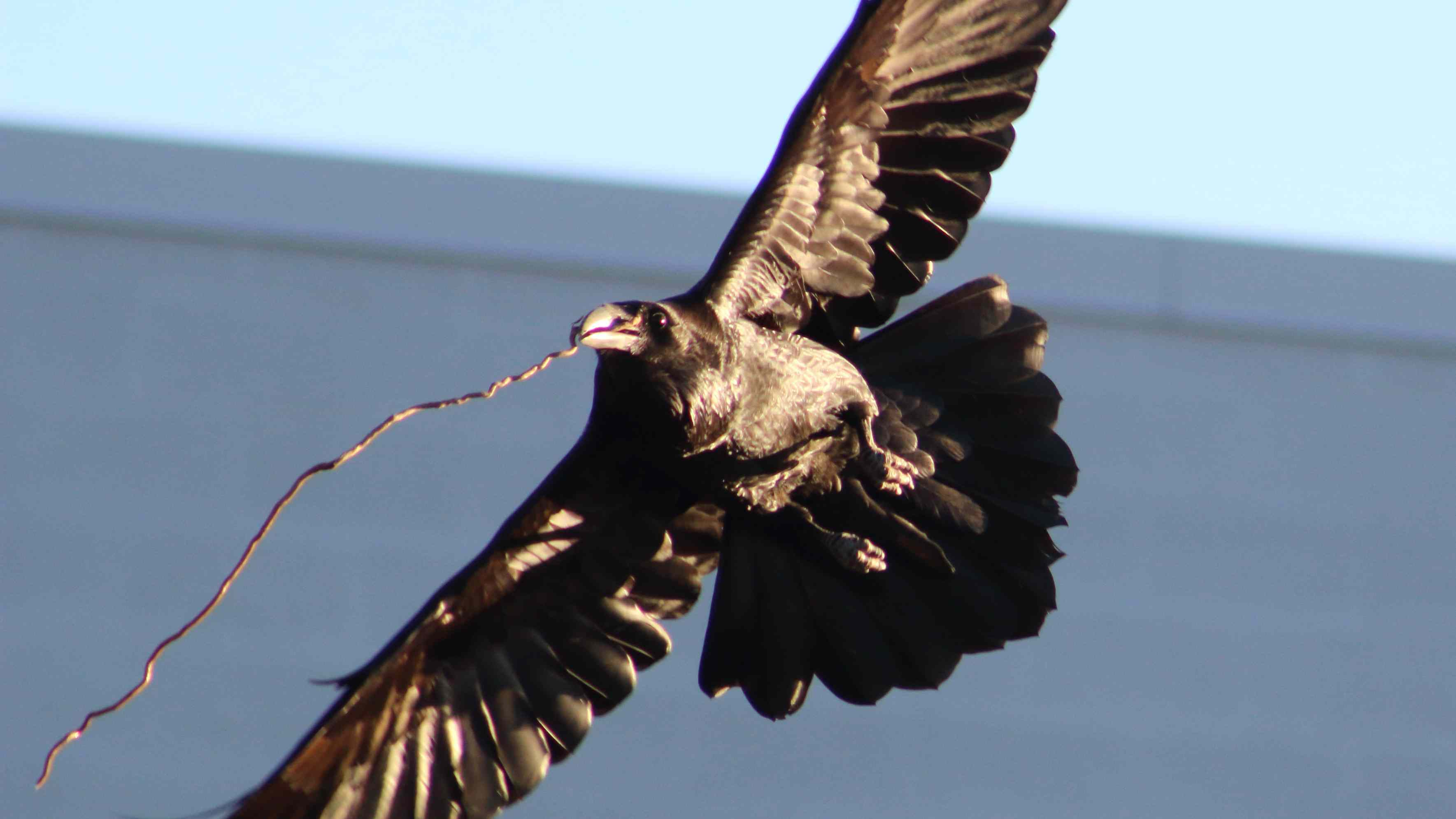 Close-Up Of Common Raven Carrying Stick In Mouth