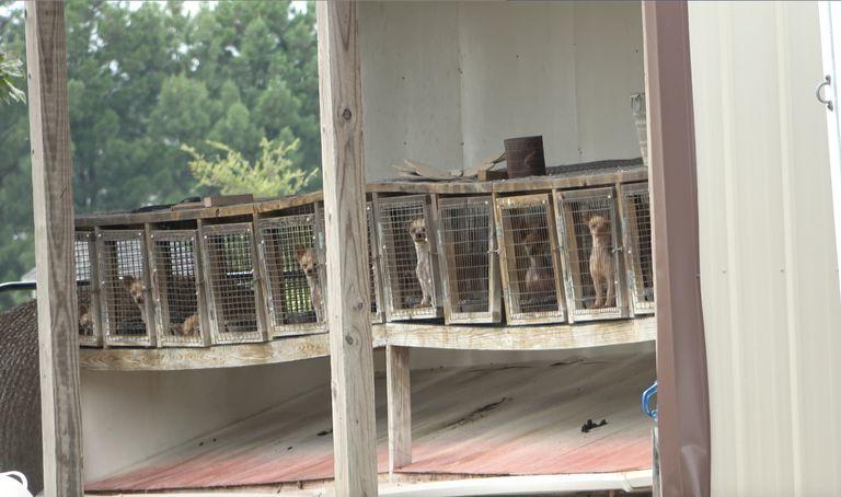 Caged breeding dogs at puppy mill in Pocahontas, Arkansas