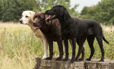 A yellow lab, chocolate lab, and black lab standing on a tree stump in a field