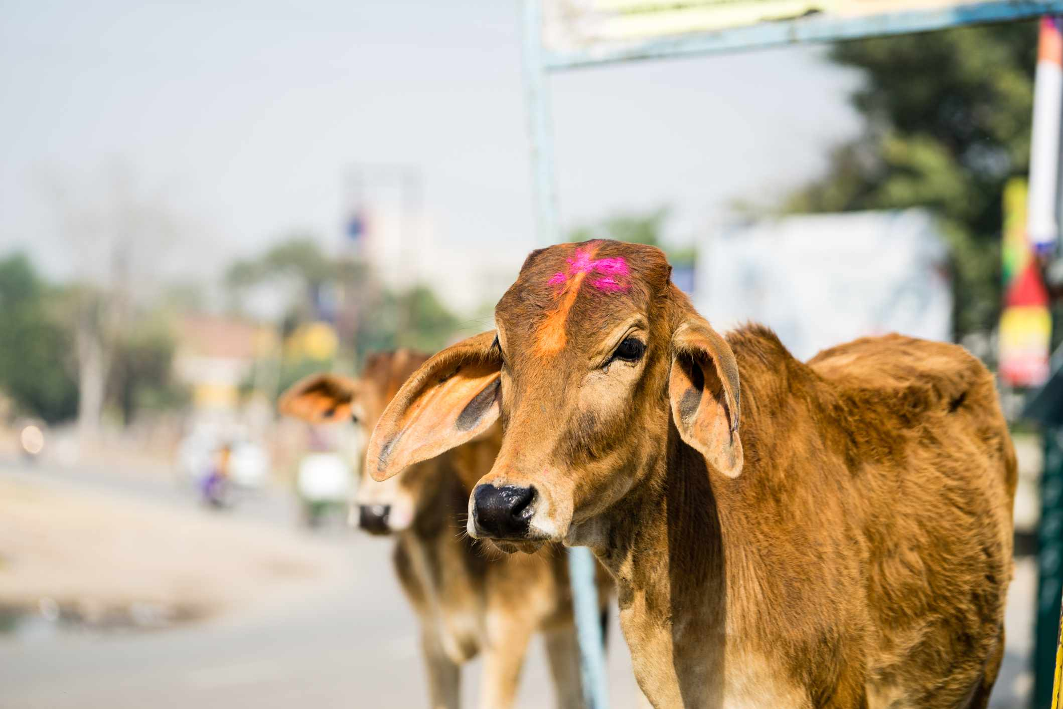 A cow on the street with a dab of pink paint on its forehead