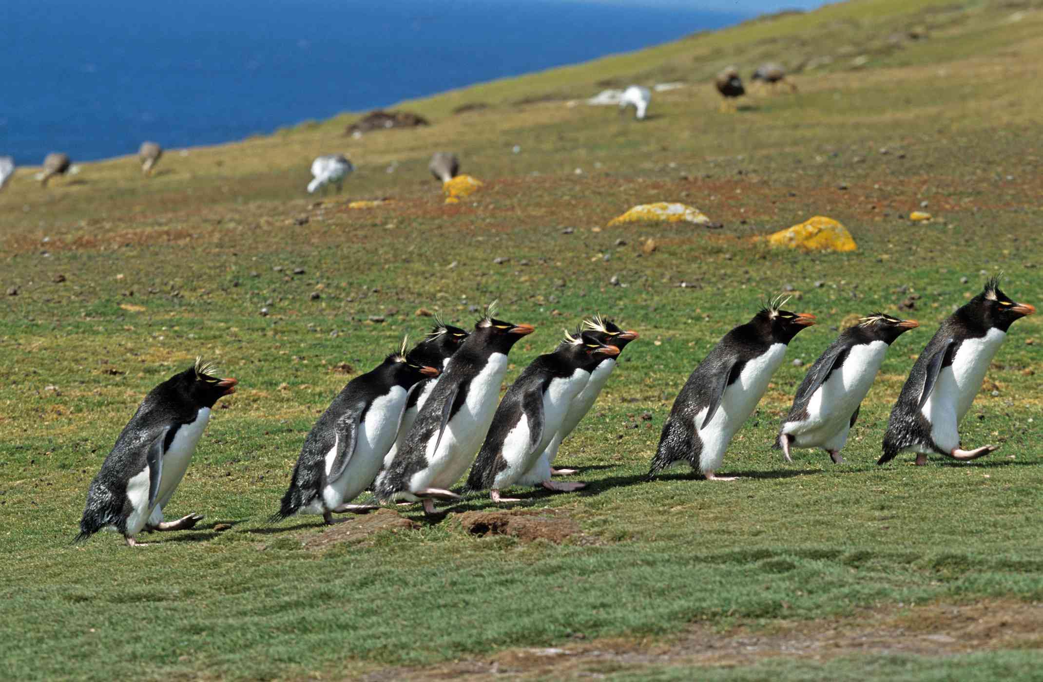 A band of crested penguins runs across a grassy landscape