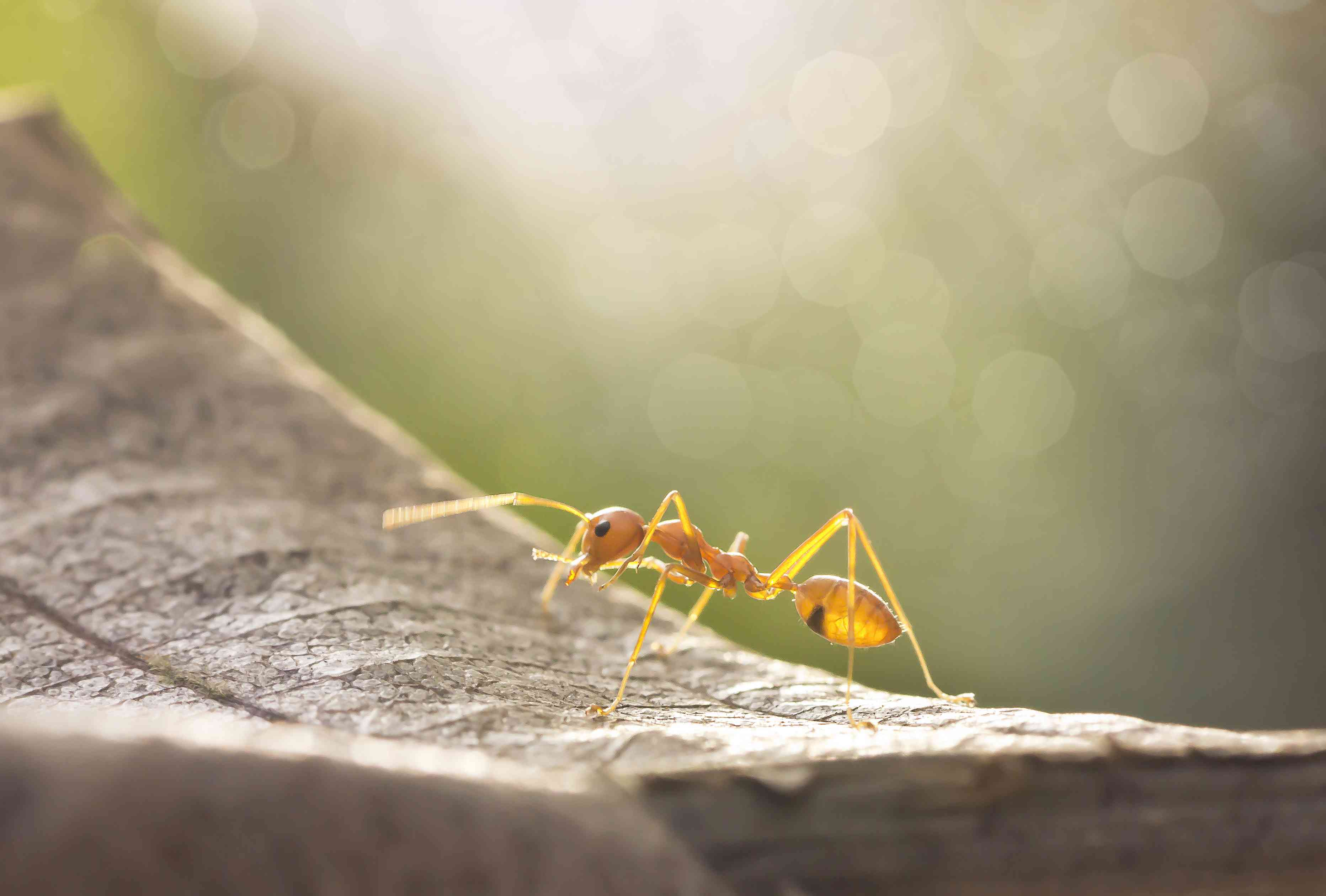 Leafcutter ant in the sun