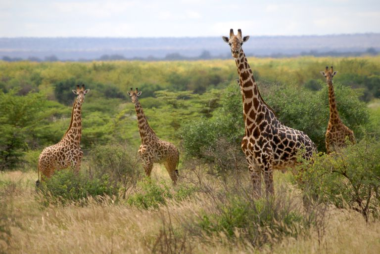 Group of giraffes in Tanzania's Mkomazi National Park