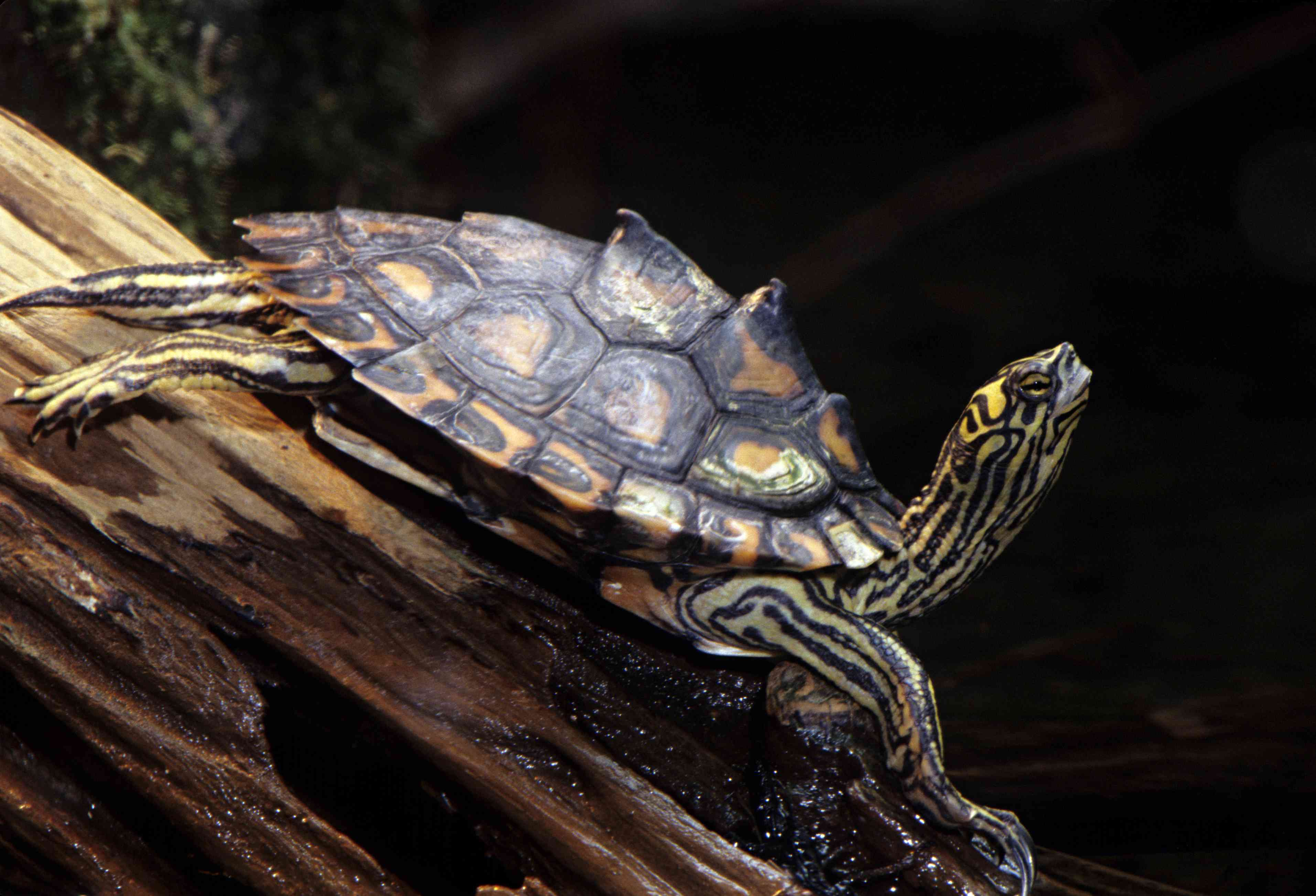 Yellow-blotched Map Turtle on a tree in Mississippi