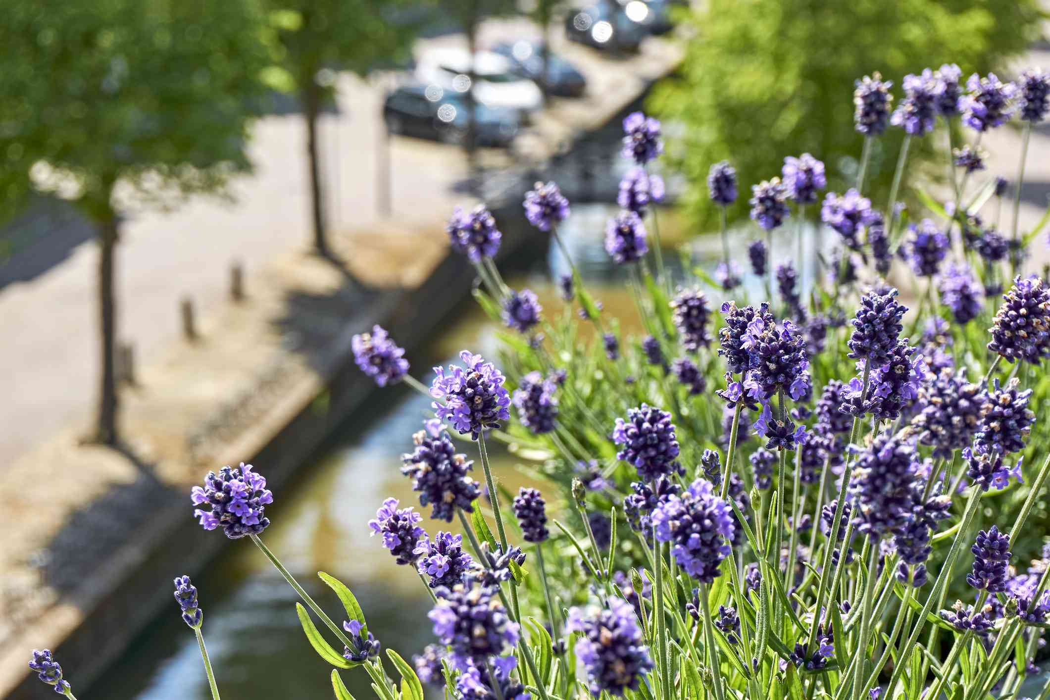 Blooming lavender on a balcony in The Netherlands