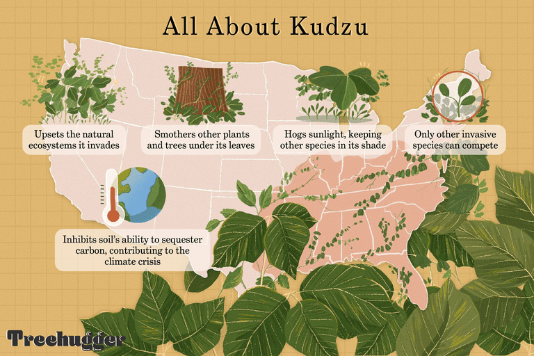 illo explaining invasive plant kudzu