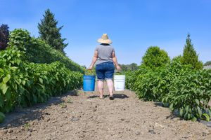 Woman in straw hat carries two gallon buckets down garden rows outside
