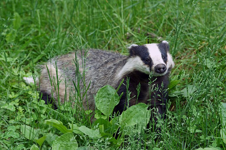 Badger in a grassy area