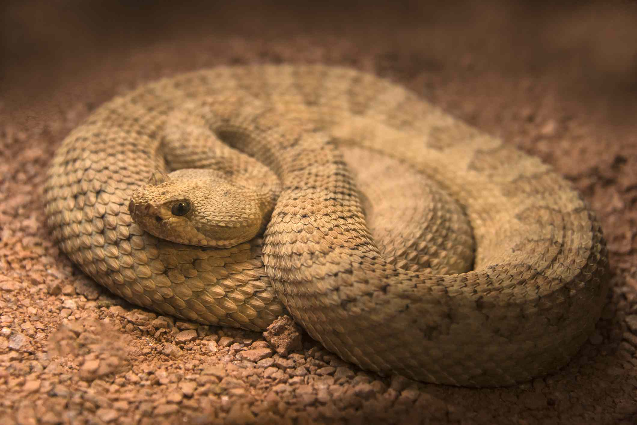 The Grand Canyon pink rattlesnake is only found inside Grand Canyon National Park