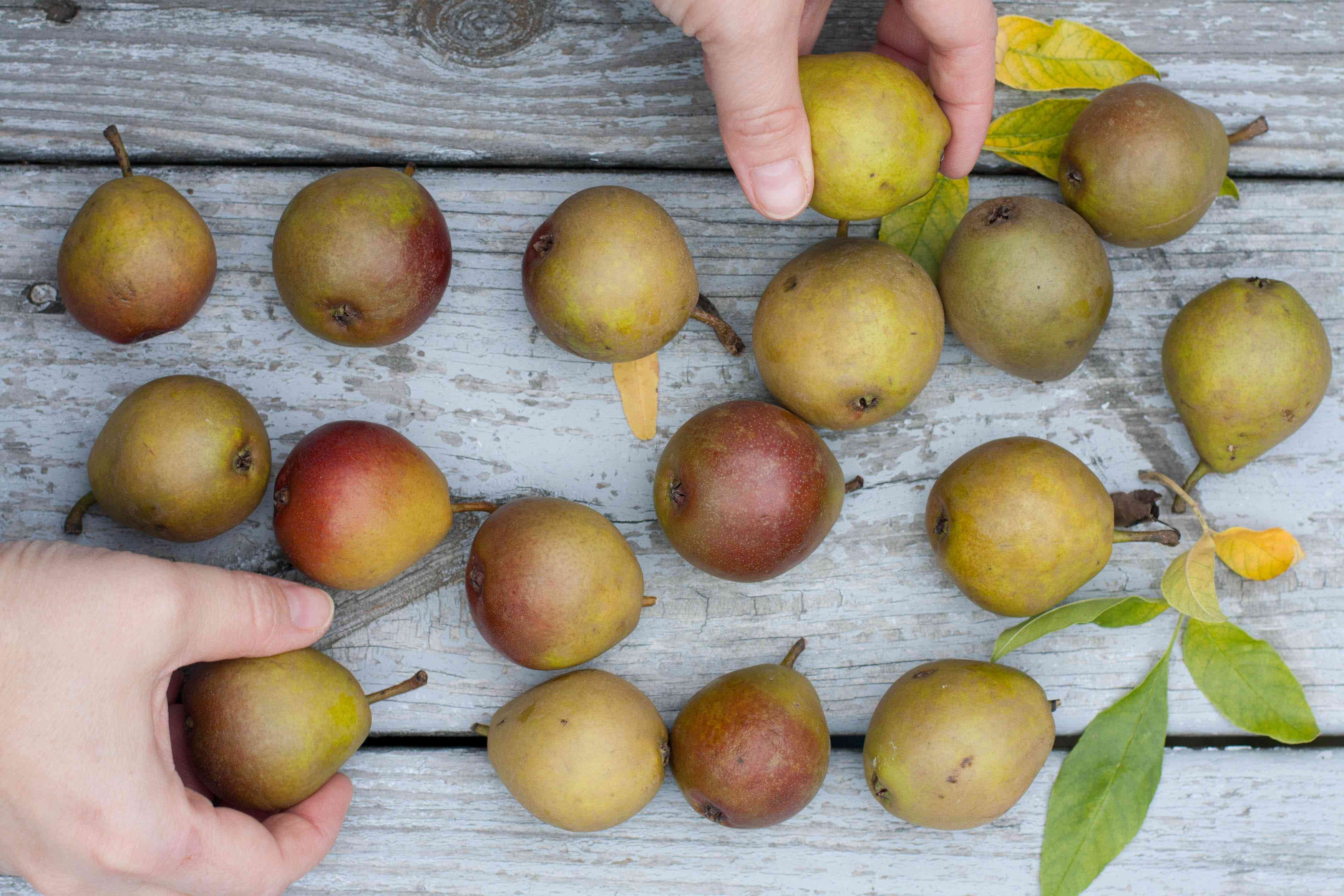 hands holding Seckel pears on a table