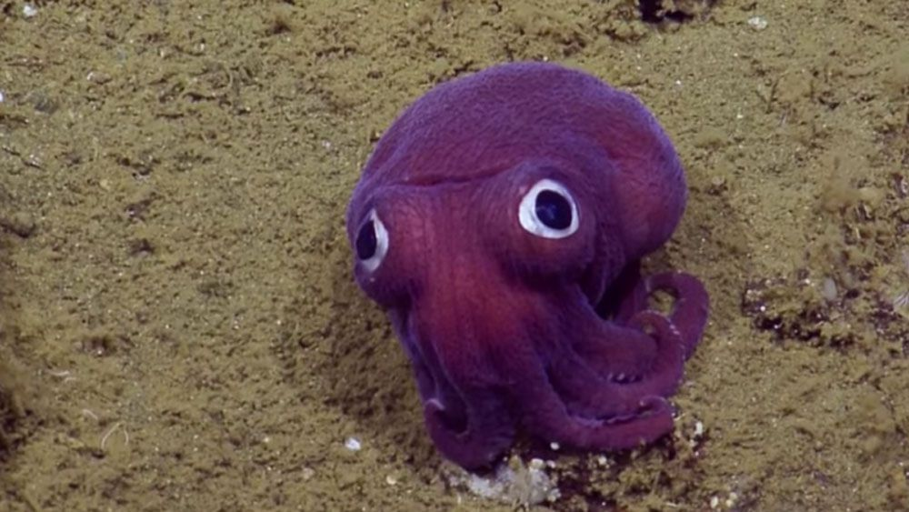 "Deep Sea Scientists Capture Footage of ""Googly Eyed"" Purple Squid (Video)"