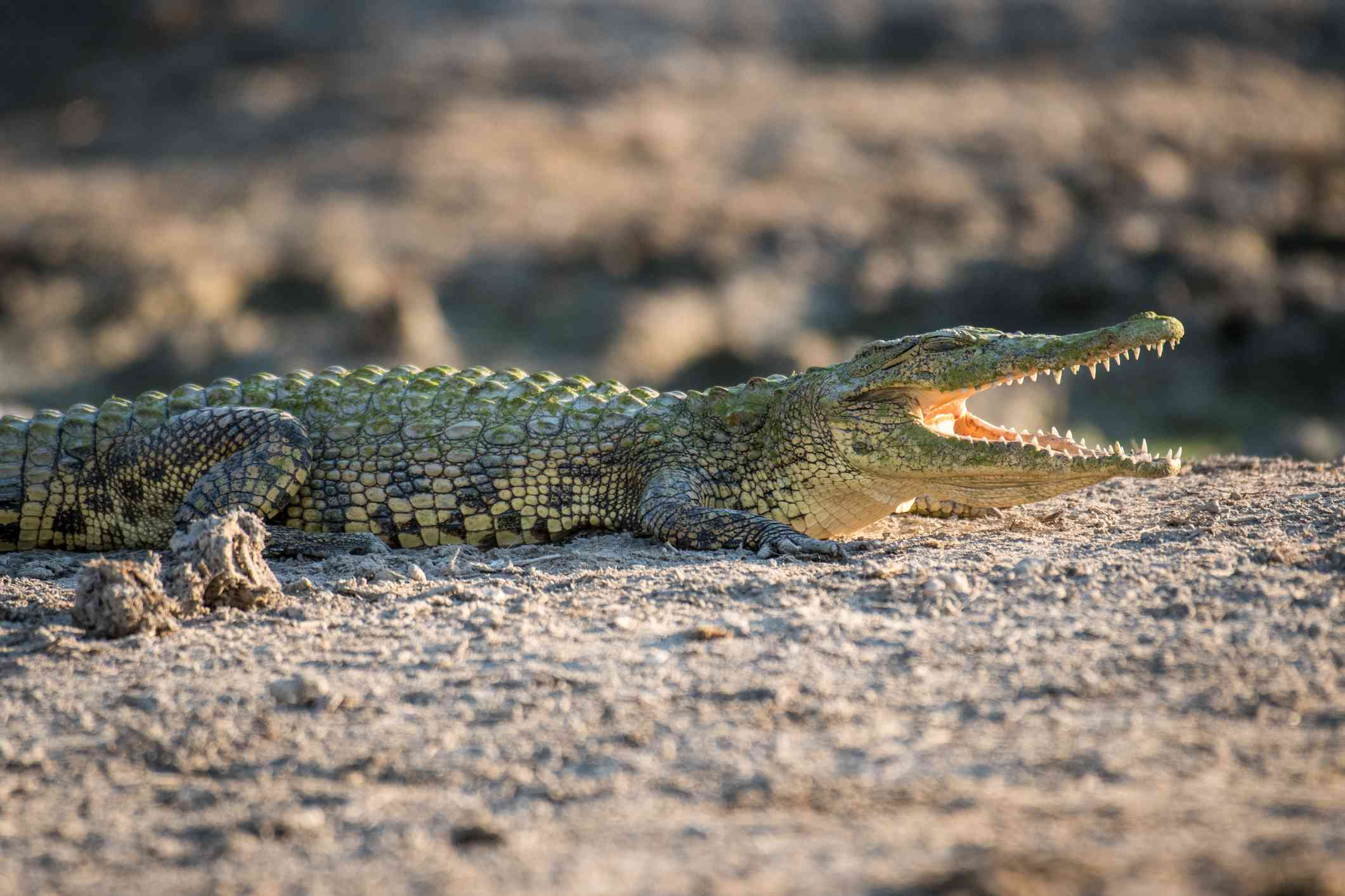 Nile crocodile basking in the dirt with its mouth open