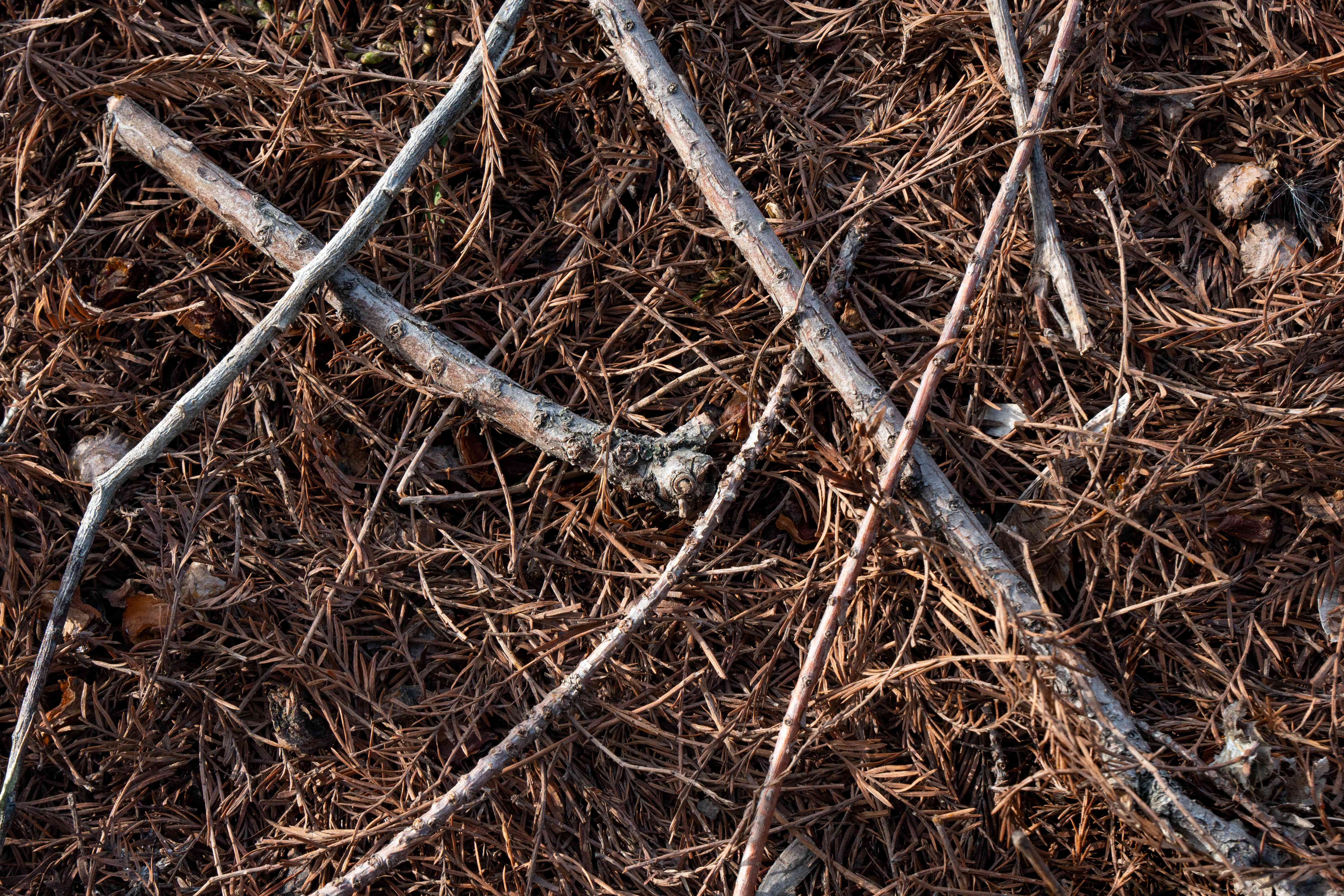closeup shot of tree twigs on ground surrounded by brown pine needles