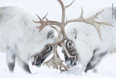 reindeer battling