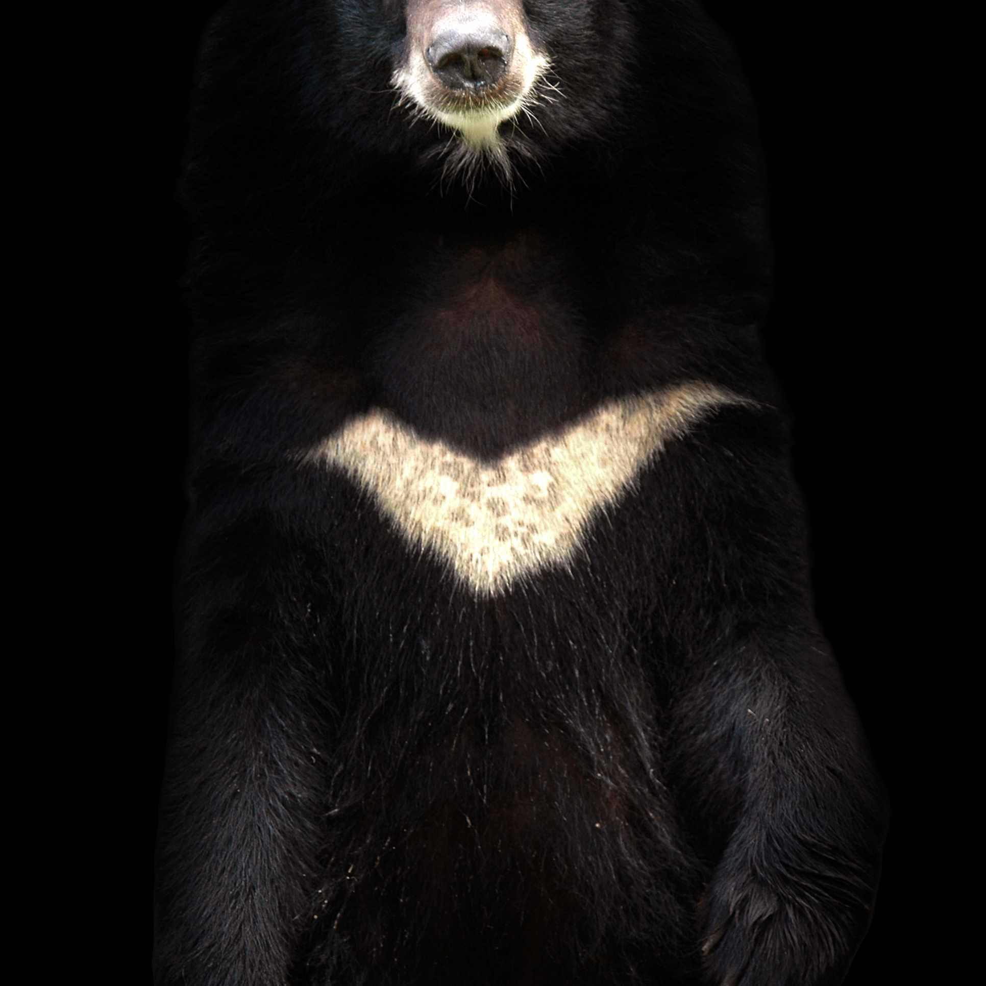 Asiatic black bear, aka moon bear