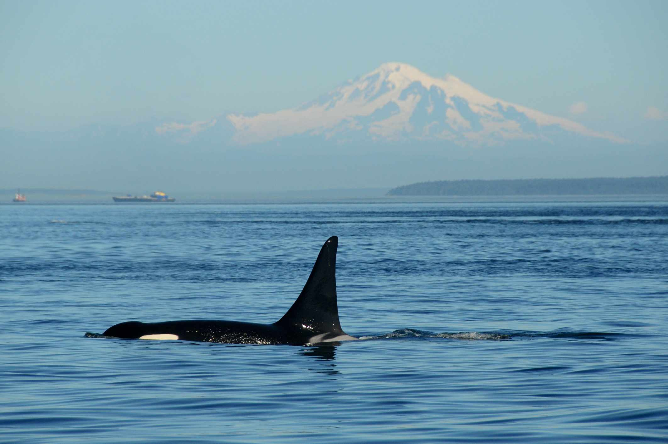 An endangered southern resident orca off the coast of Vancouver, British Columbia.