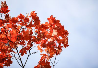 Red maple leaves against an overcast sky.