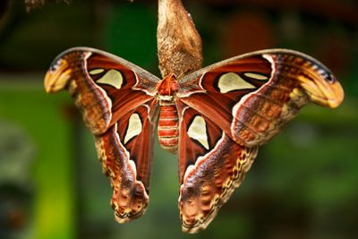 An atlas moth with striking orange and white wings sits on a branch