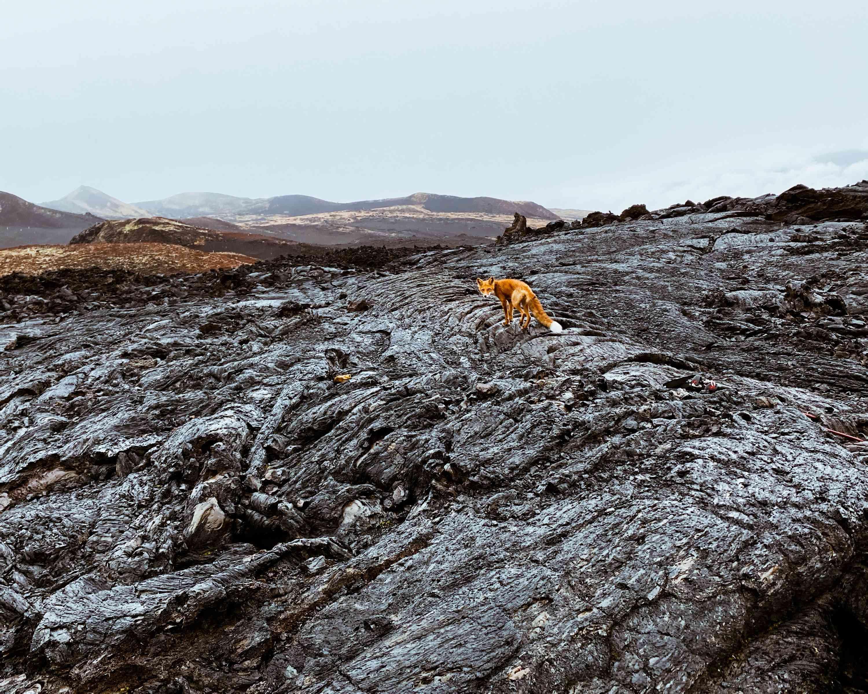 fox on a volcano