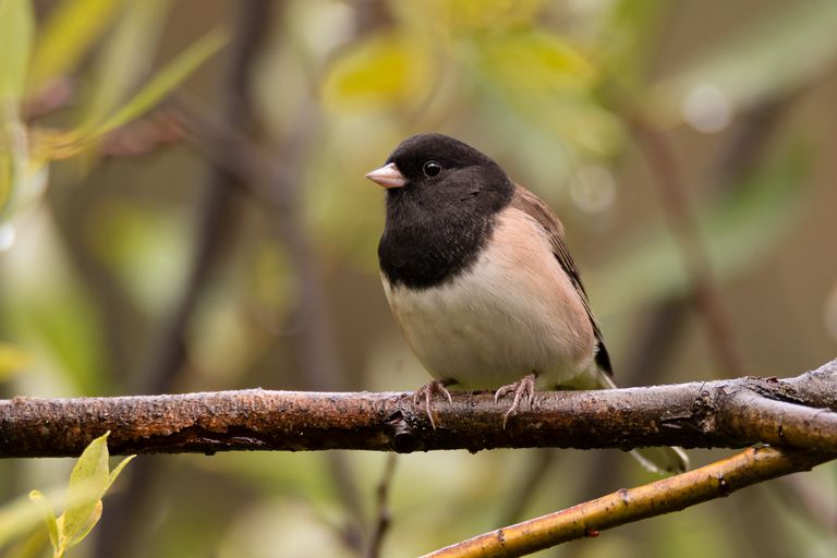 A dark-eyed junco perching on a branch