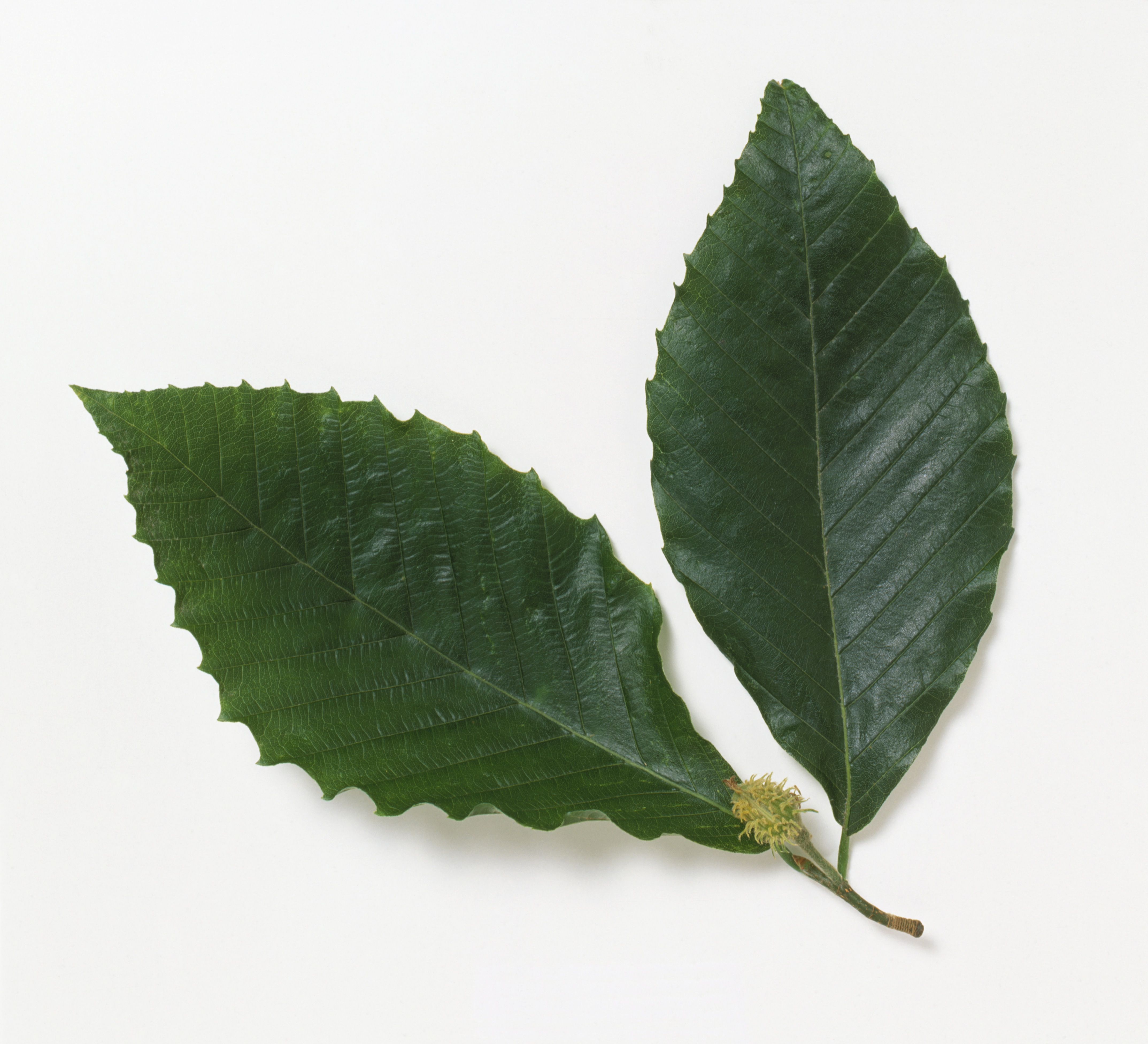 Close up of Fagus grandifolia (American beech) leaves with fruit against white background.