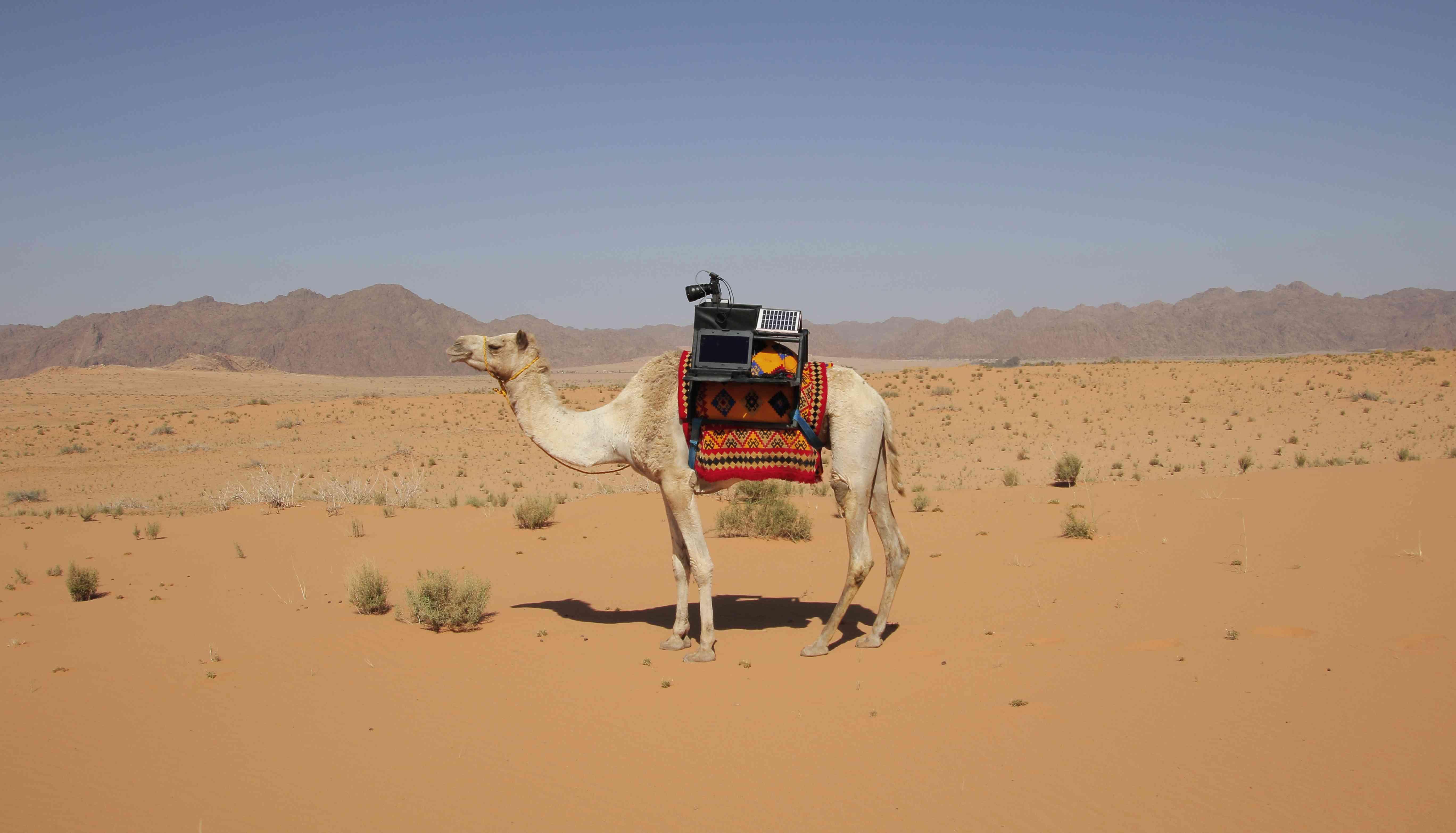 Sarha camel