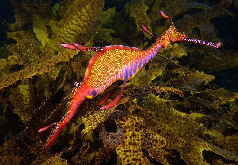 Sea dragon swimming underwater