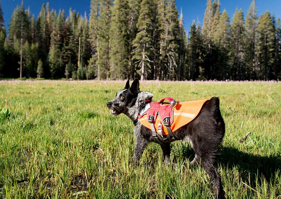 Gear such as a harness, an orange vest for visibility, and bear bell can all be helpful pieces of equipment when hiking with your dog in the back country.